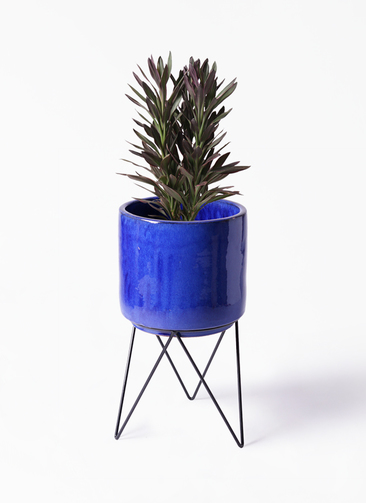 観葉植物 コルディリネ (コルジリネ) サンゴ 7号 ビトロ エンデカ 鉢カバースタンド付 ブルー 付き