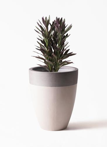 観葉植物 コルディリネ (コルジリネ) サンゴ 7号 ファイバーストーンカプリ サンディホワイト 付き