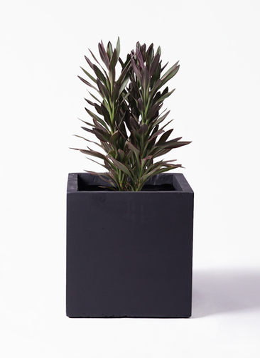 観葉植物 コルディリネ (コルジリネ) サンゴ 7号 ベータ キューブプランター 黒 付き