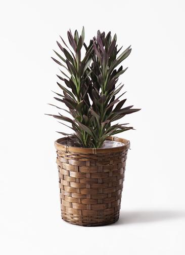観葉植物 コルディリネ (コルジリネ) サンゴ 7号 竹バスケット 付き