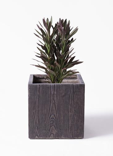 観葉植物 コルディリネ (コルジリネ) サンゴ 7号 ベータ キューブプランター ウッド 茶 付き