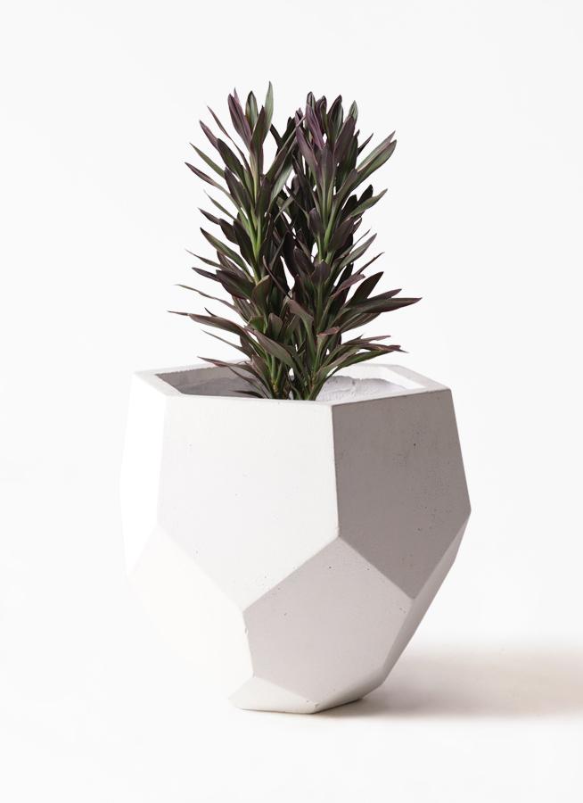 観葉植物 コルディリネ (コルジリネ) サンゴ 7号 ポリゴヘクサ 白 付き