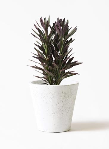 観葉植物 コルディリネ (コルジリネ) サンゴ 7号 フォリオソリッド 白 付き