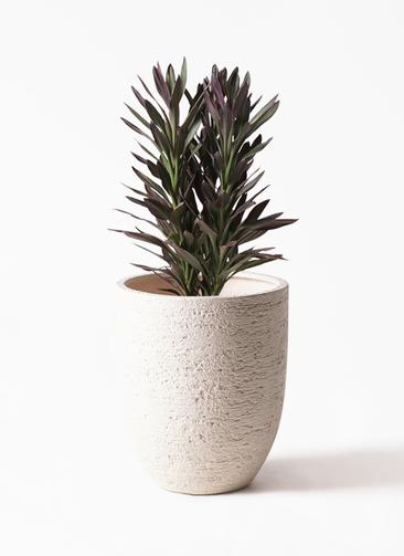 観葉植物 コルディリネ (コルジリネ) サンゴ 7号 ビアスアルトエッグ 白 付き