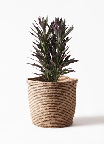 観葉植物 コルディリネ (コルジリネ) サンゴ 7号 リブバスケットNatural 付き