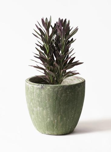 観葉植物 コルディリネ (コルジリネ) サンゴ 7号 アビスソニアミドル 緑 付き
