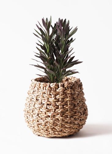 観葉植物 コルディリネ (コルジリネ) サンゴ 7号 ラッシュバスケット Natural 付き