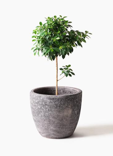 観葉植物 フィカス ナナ 7号 ノーマル アビスソニアミドル 灰 付き