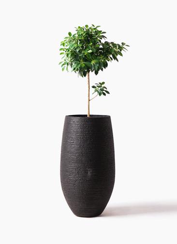 観葉植物 フィカス ナナ 7号 ノーマル フォンティーヌトール 黒 付き