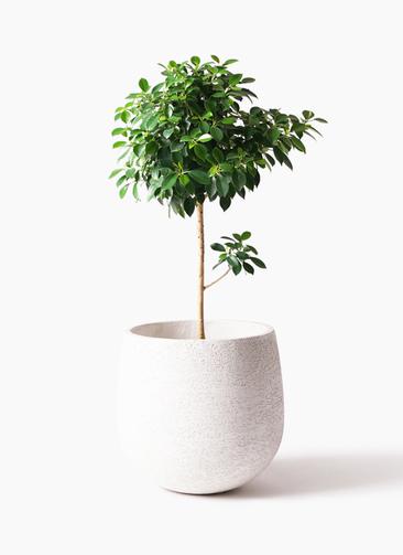 観葉植物 フィカス ナナ 7号 ノーマル エコストーンwhite 付き