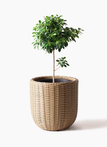 観葉植物 フィカス ナナ 7号 ノーマル ウィッカーポットエッグ ベージュ 付き