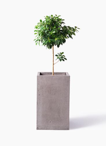 観葉植物 フィカス ナナ 7号 ノーマル セドナロング グレイ 付き