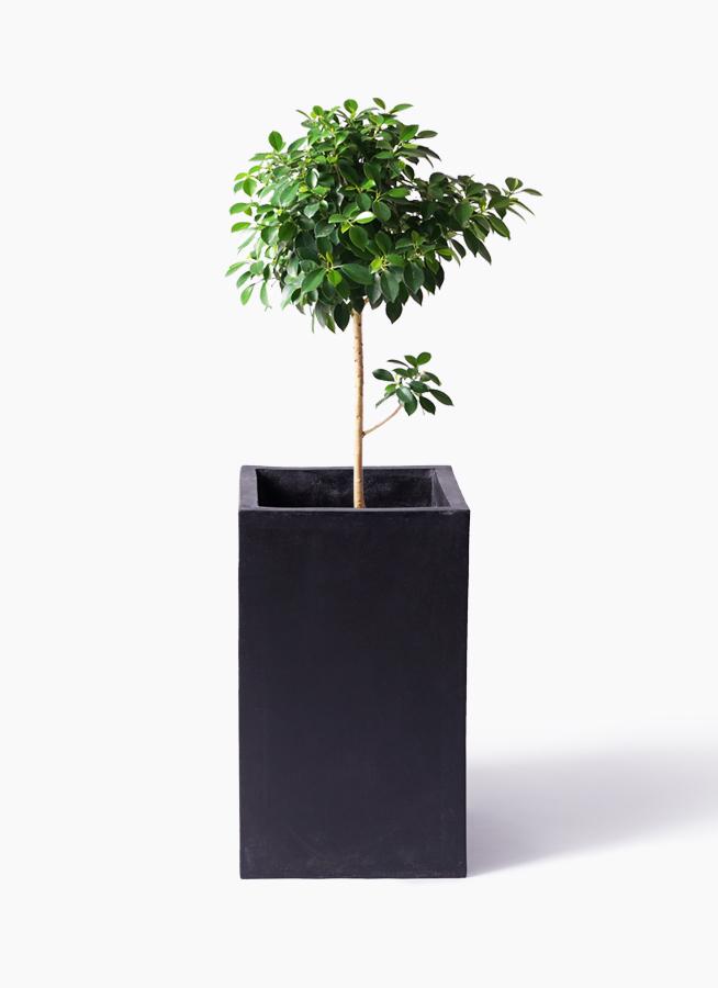 観葉植物 フィカス ナナ 7号 ノーマル セドナロング 墨 付き