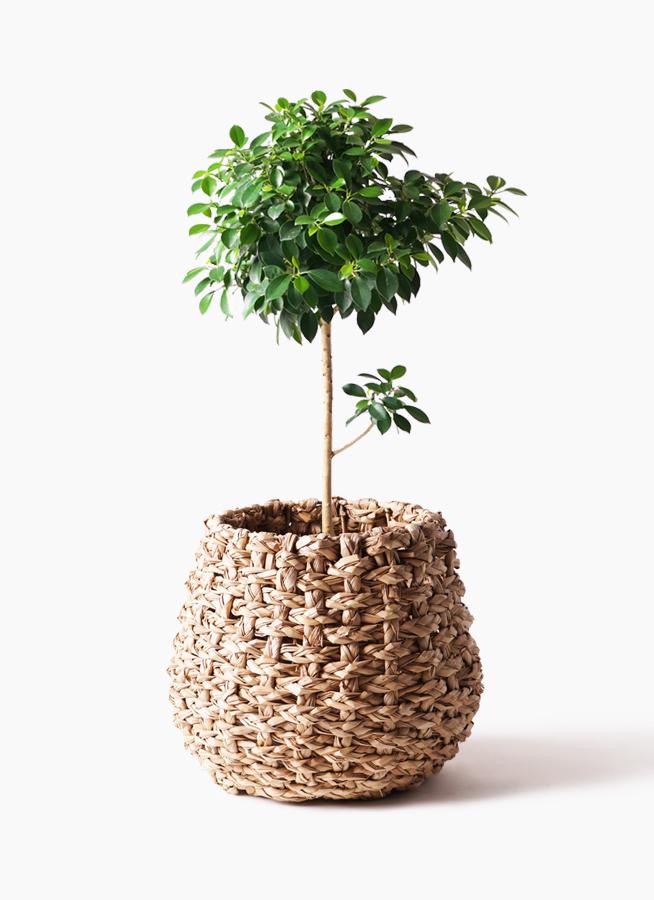 観葉植物 フィカス ナナ 7号 ノーマル ラッシュバスケット Natural 付き