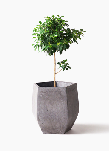 観葉植物 フィカス ナナ 7号 ノーマル ファイバークレイ Gray 付き