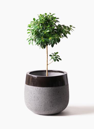 観葉植物 フィカス ナナ 7号 ノーマル ファイバーストーンタウルス 黒 付き