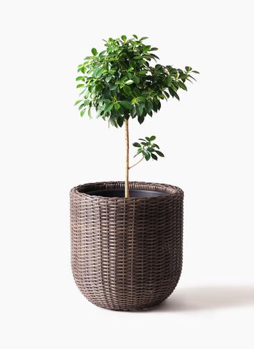 観葉植物 フィカス ナナ 7号 ノーマル ウィッカーポットエッグ 茶 付き