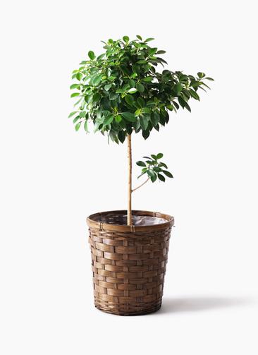 観葉植物 フィカス ナナ 7号 ノーマル 竹バスケット 付き