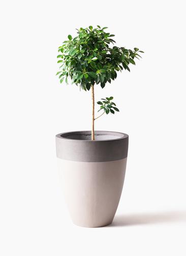 観葉植物 フィカス ナナ 7号 ノーマル ファイバーストーンカプリ サンディホワイト 付き
