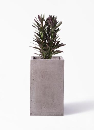 観葉植物 コルディリネ (コルジリネ) サンゴ 7号 セドナロング グレイ 付き