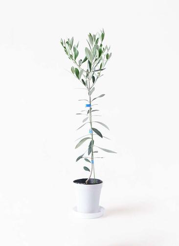 観葉植物 オリーブの木 3.5号 ルッカ プラスチック鉢