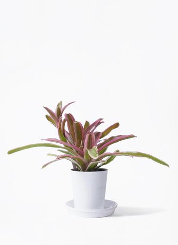 観葉植物 ネオレゲリア 3号 プラスチック鉢