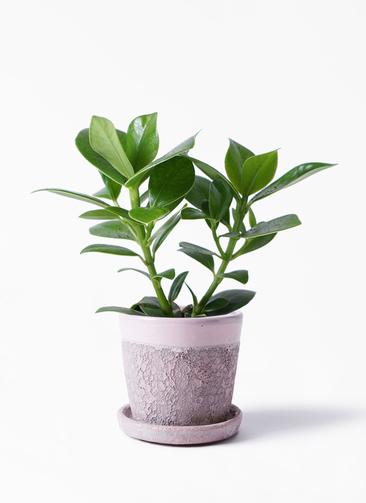 観葉植物 クルシア ロゼア プリンセス 3.5号 ハレー ピンク 付き