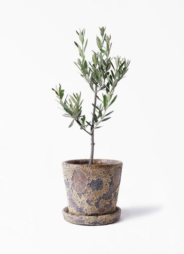 観葉植物 オリーブの木 3号 創樹 ハレー カーキー 付き