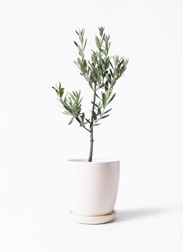 観葉植物 オリーブの木 3号 創樹 アステア トール ホワイト 付き