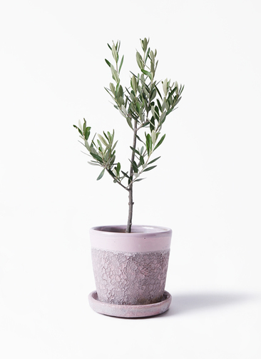 観葉植物 オリーブの木 3号 創樹 ハレー ピンク 付き