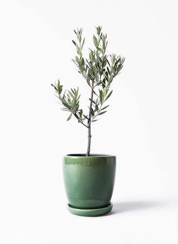 観葉植物 オリーブの木 3号 創樹 アステア トール グリーン 付き