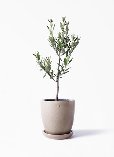 観葉植物 オリーブの木 3号 創樹 アステア トール ベージュ 付き