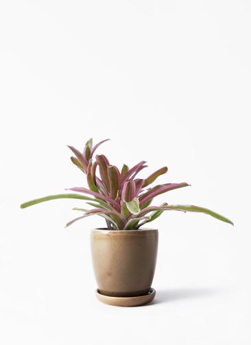 観葉植物 ネオレゲリア 3号 アステア トール ブラウン 付き