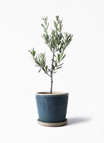 観葉植物 オリーブの木 3号 創樹 フェイバーポット ブルー 付き