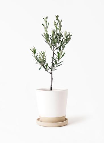 観葉植物 オリーブの木 3号 創樹 マット グレーズ テラコッタ ホワイト 付き