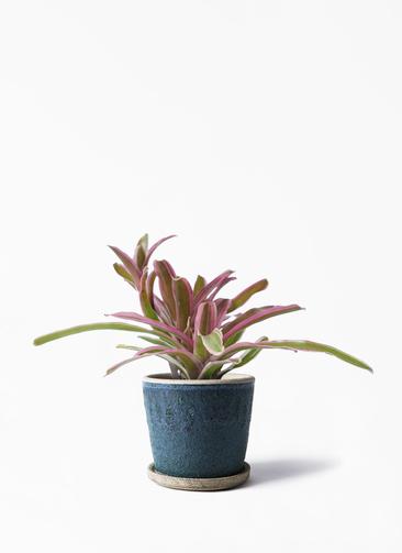 観葉植物 ネオレゲリア 3号 フェイバーポット ブルー 付き