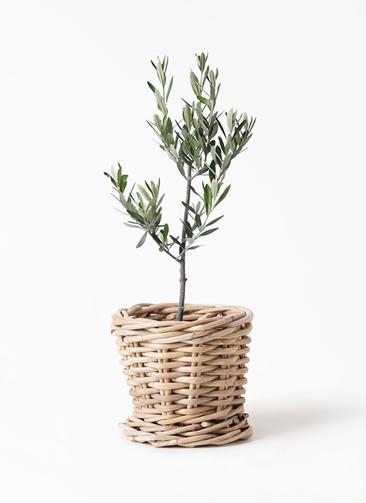 観葉植物 オリーブの木 3号 創樹 グレイラタン 付き
