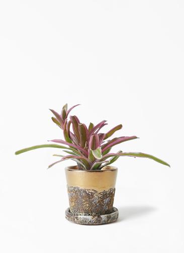 観葉植物 ネオレゲリア 3号 ハレー ブロンズ 付き