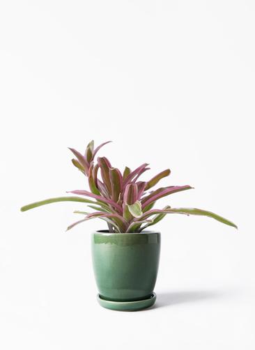 観葉植物 ネオレゲリア 3号 アステア トール グリーン 付き