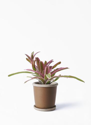 観葉植物 ネオレゲリア 3号 キャメルポット ブラウン 付き