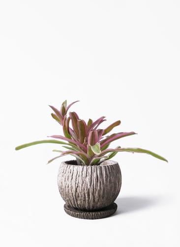 観葉植物 ネオレゲリア 3号 ストーン ウェア セラミック 付き