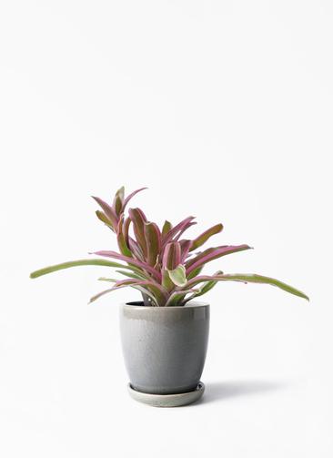 観葉植物 ネオレゲリア 3号 アステア トール ライトグレー 付き