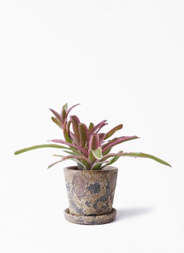 観葉植物 ネオレゲリア 3号 ハレー カーキー 付き