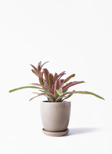観葉植物 ネオレゲリア 3号 アステア トール ベージュ 付き