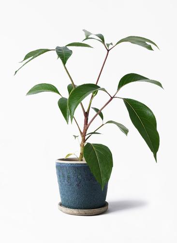 観葉植物 ツピダンサス 3.5号 ボサ造り フェイバーポット ブルー 付き