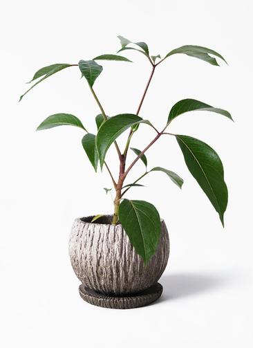 観葉植物 ツピダンサス 3.5号 ボサ造り ストーン ウェア セラミック 付き