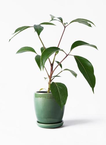 観葉植物 ツピダンサス 3.5号 ボサ造り アステア トール グリーン 付き