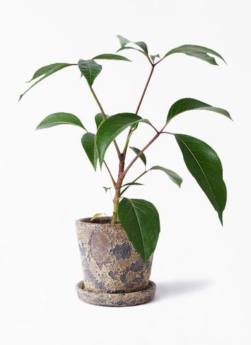 観葉植物 ツピダンサス 3.5号 ボサ造り ハレー カーキー 付き
