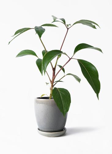 観葉植物 ツピダンサス 3.5号 ボサ造り アステア トール ライトグレー 付き
