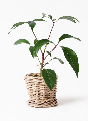 観葉植物 ツピダンサス 3.5号 ボサ造り グレイラタン 付き